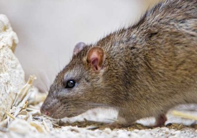 Comment repérer les signes de rats ?