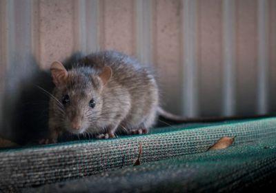 Comment les rats entrent-ils dans une maison ?