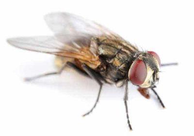 Pourquoi les mouches peuvent être dangereuses ?