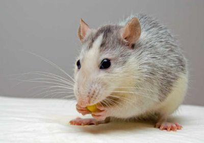 Quel est le mode de vie de la souris grise ?